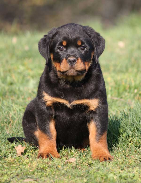 Discussion on this topic: How to Care for Rottweilers, how-to-care-for-rottweilers/